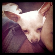 Chihuahua scarf!_6878568953_m